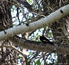White-headed woodpecker 3June2016